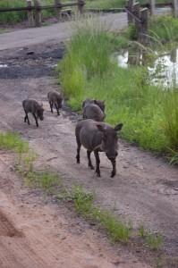 Warzenschwein-Familie